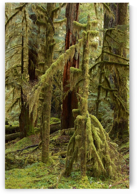 Moss covered tree in the Opal Creek Wilderness, Oregon by Craig Nowell Stott