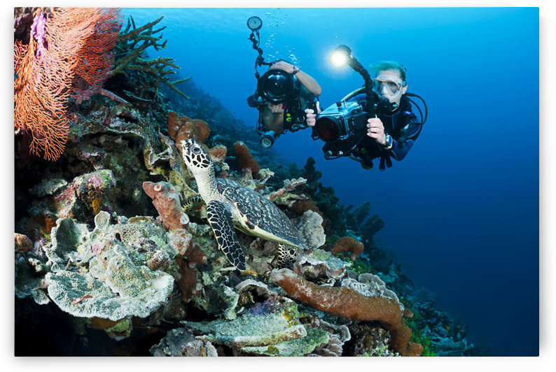 Indonesia, Divers Photographing A Hawksbill Turtle (Eretmochelys Imbricata) On A Reef by PacificStock