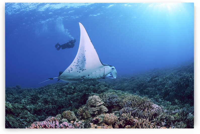 USA, Hawaii Islands, Reef Manta Ray (Manta Alfredi) Cruises Over Shallows Off Ukumehame; Maui by PacificStock
