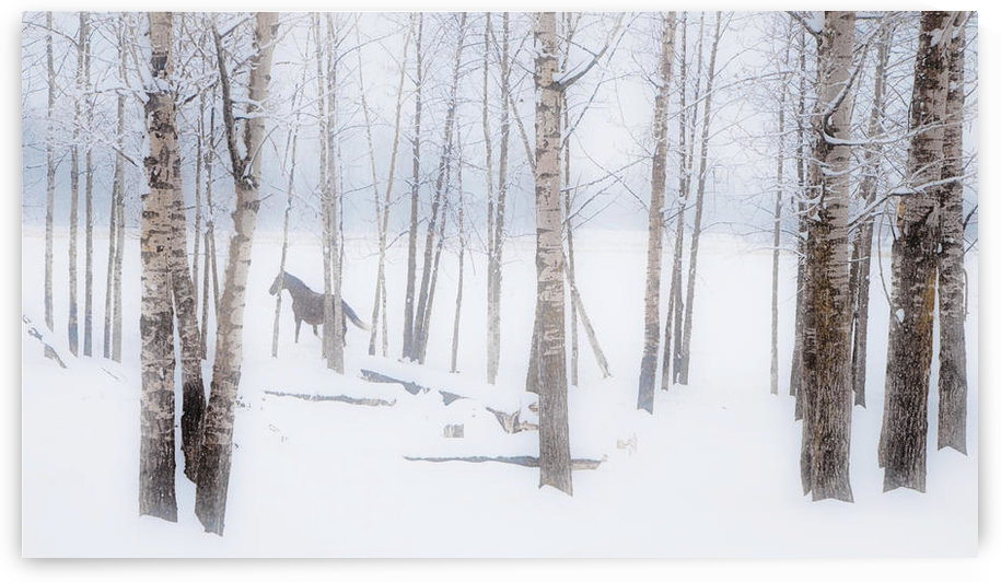 A Horse Stands Beside A Forest Of Bare Trees With The Blustery Snow In Winter; Alberta, Canada by PacificStock