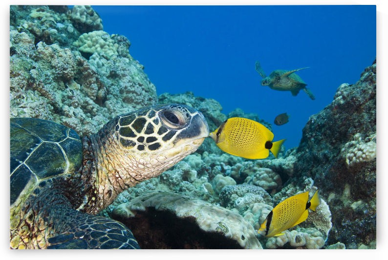 USA, Green Sea Turtle (Chelonia Mydas) Endangered Species And Butterfly Fish; Hawaii Islands by PacificStock