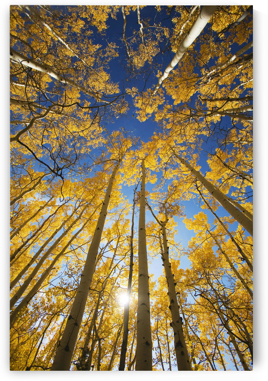 USA, Colorado, Near Steamboat Springs, Yellow Aspen Tree Canopy; Buffalo Pass by PacificStock