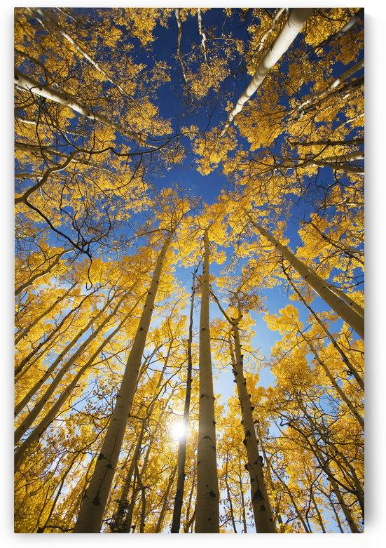 USA, Colorado, Near Steamboat Springs, Yellow Aspen Tree Canopy; Buffalo Pass by PacificStock