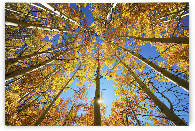 Colorado, Near Steamboat Springs, Buffalo Pass, Yellow Aspen Tree Canopy. by PacificStock