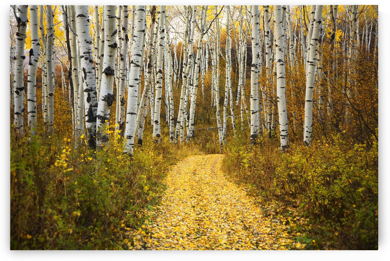 Colorado, Steamboat, Yellow Aspen Leaves On Country Road. by PacificStock