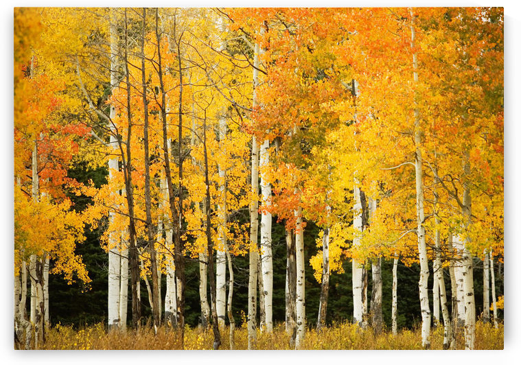 USA, Colorado, Near Steamboat Springs, Line Of Fall-Colored Aspen Trees; Buffalo Pass by PacificStock