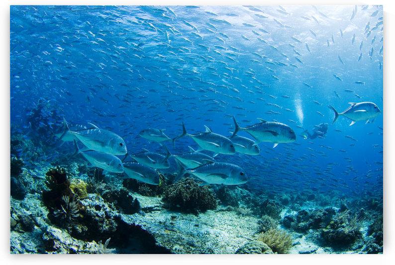 Schooling Bigeye Jack Fish (Caranx Sexfasciatus); Malaysia by PacificStock