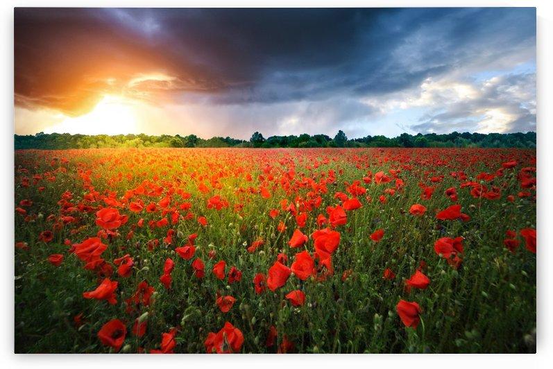 Poppies by Bess Hamiti