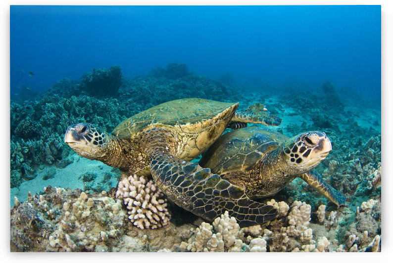 Hawaii, Green Sea Turtles (Chelonia Mydas) Over Coral Reef. by PacificStock