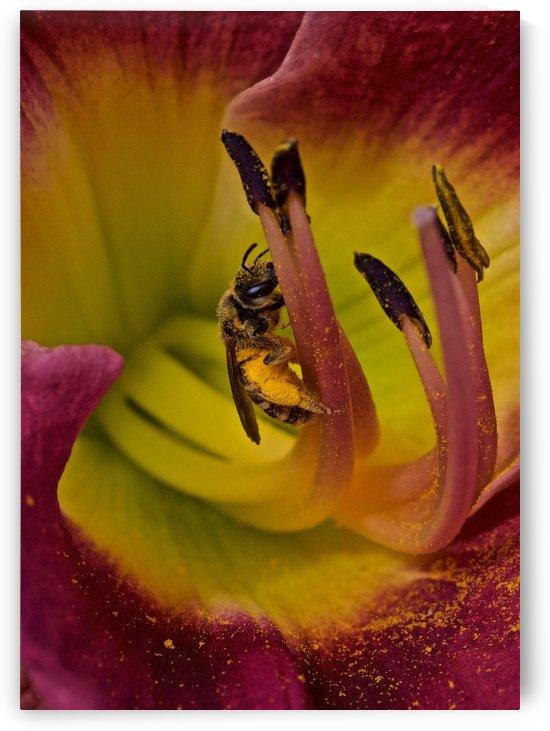 Bee Inside Corn Lily - Portrait by Craig Nowell Stott