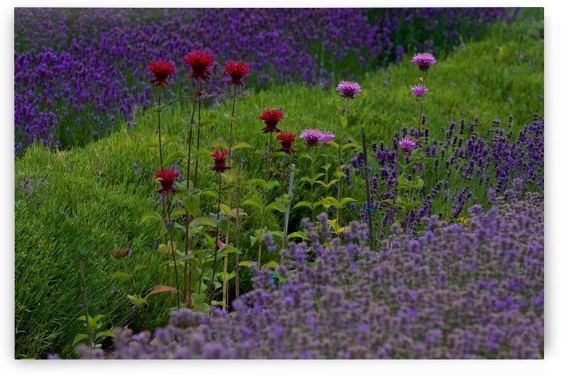Bee Balm Blooming in Lavender Field by Craig Nowell Stott
