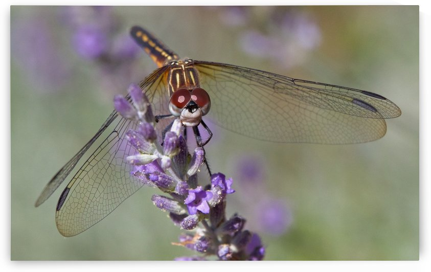 Dragonfly resting on flower. by Craig Nowell Stott