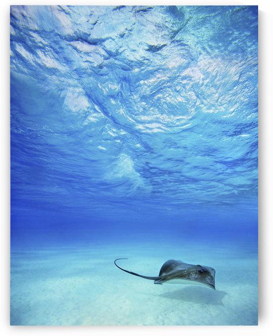 French Polynesia, Tahiti, Bora Bora, Stingray In Beautiful Turquoise Water. by PacificStock