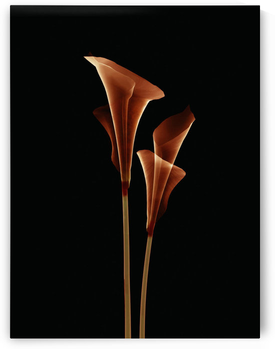 Botanical Study 5, Sheer Representation Of Flowers On Black Background (Photographic Composition). by PacificStock