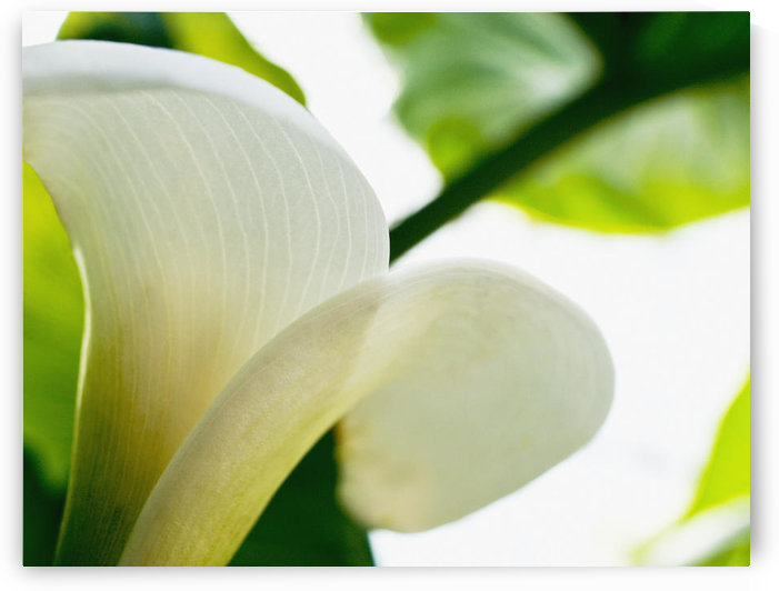 Calla Lily, Extreme Close-Up Of Large White Petal, View From Below. by PacificStock