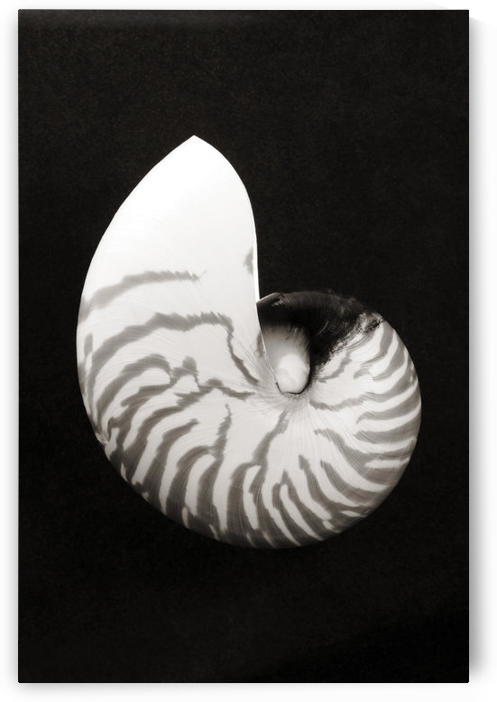 Close-Up Of Chambered Nautilus Shell On Black Background (Sepia Photograph). by PacificStock