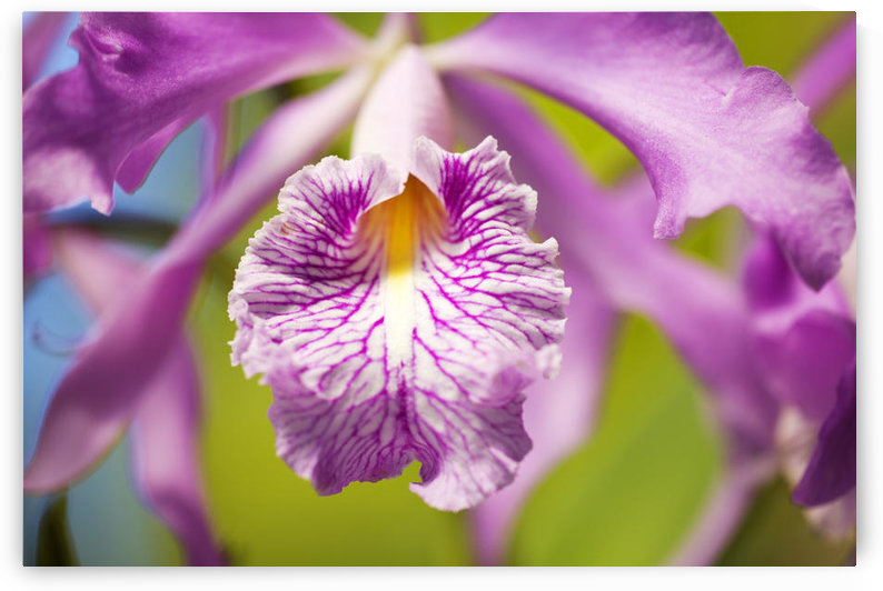 Hawaii, Maui, Vibrant Pink Orchid. by PacificStock