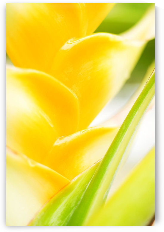 Hawaii, Oahu, Close-Up Of Heliconia Plant. by PacificStock