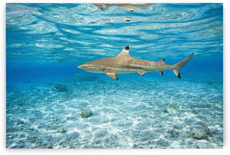 French Polynesia, Rangiroa, Blue Lagoon, Blacktip Reff Shark (Carcharhinus Melanopterus). by PacificStock