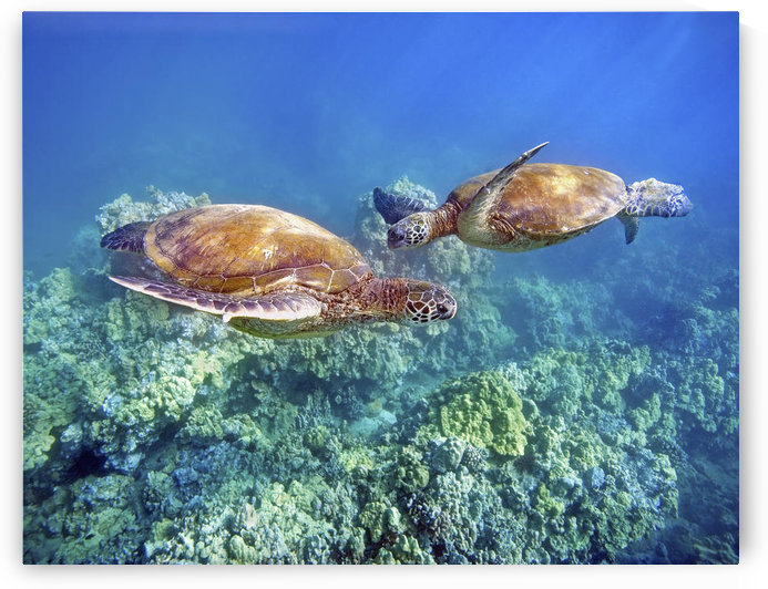 Hawaii, Two Green Sea Turtles, (Chelonia Mydas) An Endangered Species. by PacificStock