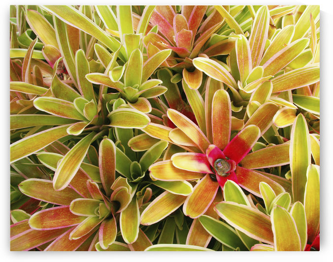 USA, Hawaii, Cluster Of Colorful Bromeliad Plants ; Maui by PacificStock