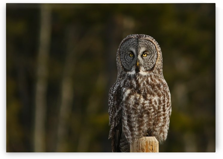 Great Gray Owl 5 by Guy Lichter