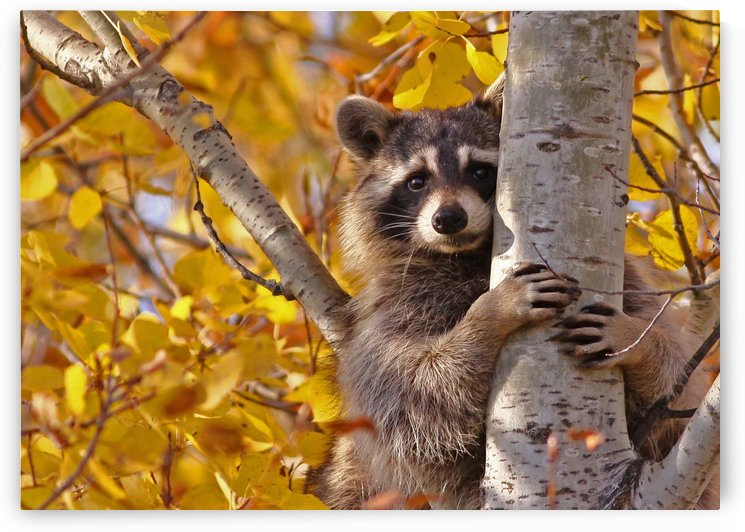 Fall Raccoon 18 by Guy Lichter