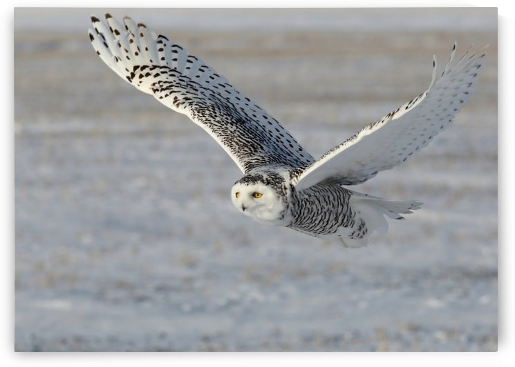 Snowy Owl in flight 6 by Guy Lichter