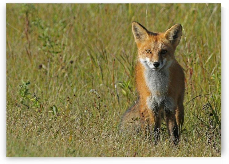 Red Fox 5 by Guy Lichter