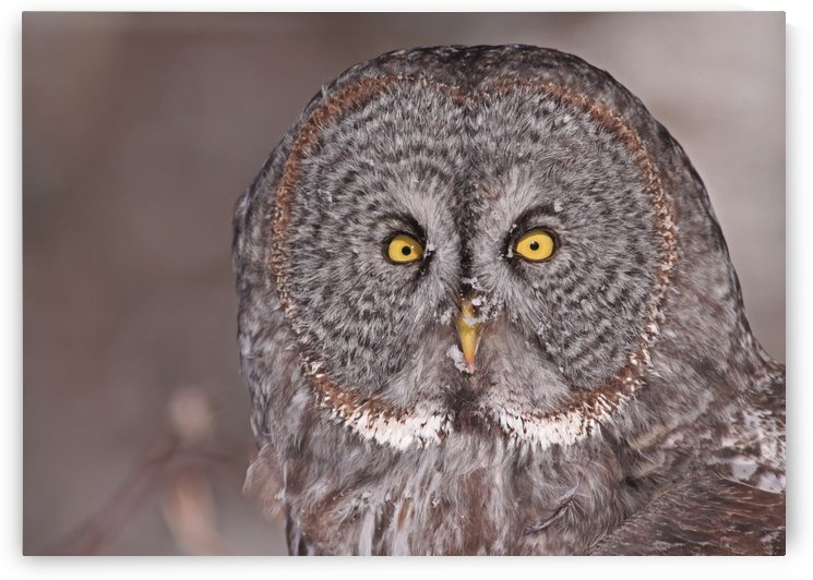 Great Gray Owl close up 11 by Guy Lichter