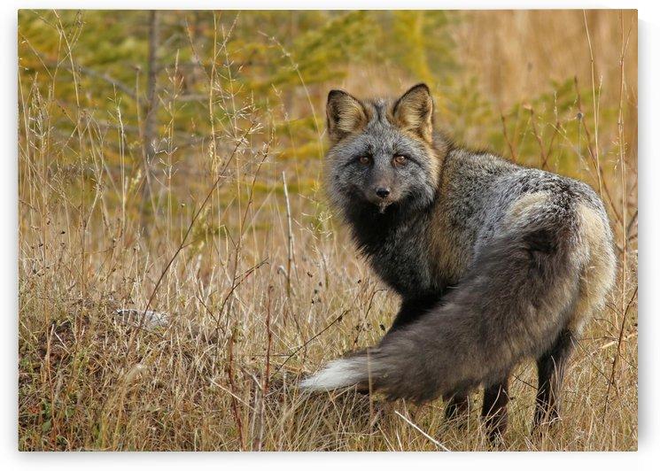 Red Fox 10 by Guy Lichter