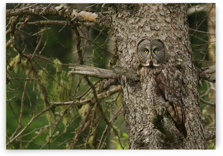 Hiding in plain sight... Great Gray Owl 14 by Guy Lichter