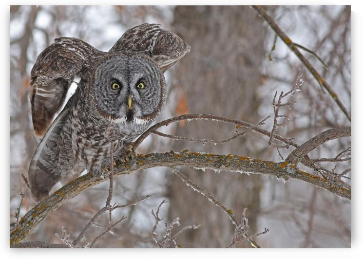 Great Gray Owl 16 by Guy Lichter