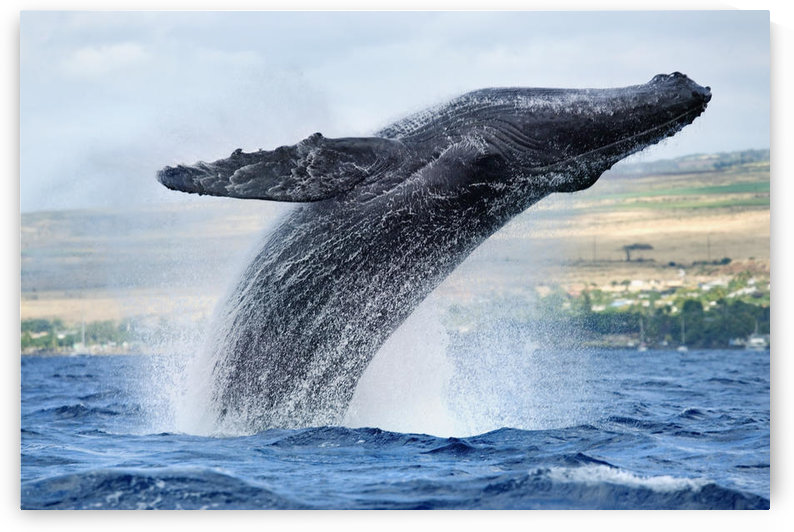 Hawaii, Maui, Humpback Whale Breaching With Island In The Background. by PacificStock