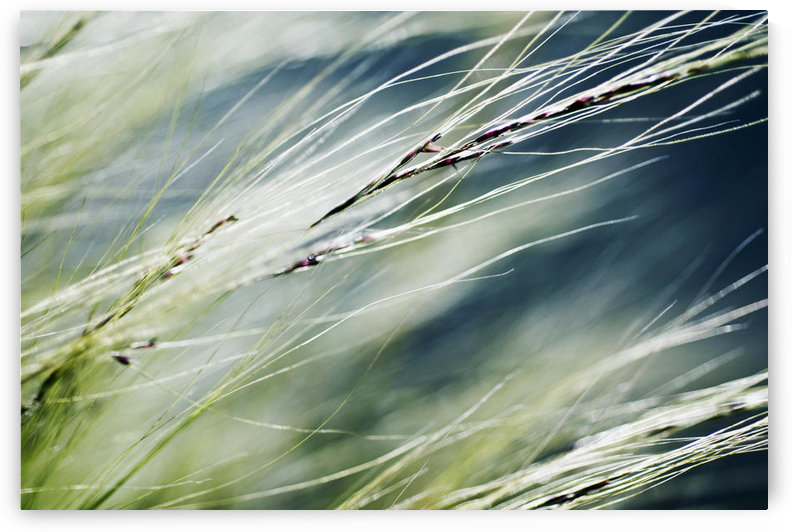 Abstract Of Ornamental Grass (Stipa Gigantea). by PacificStock