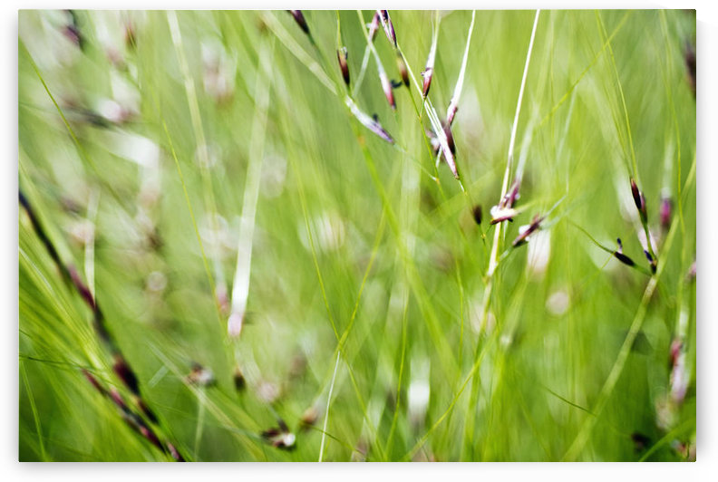 Abstract Of Green Ornamental Grass (Stipa Gigantea). by PacificStock