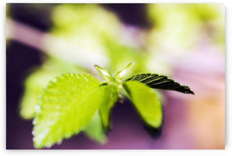 Japonica Tree, Selective Focus On Green Leaves. by PacificStock