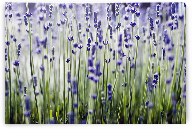 Lavender (Lavandula Angustifolia), Many Sprigs Growing In Field. by PacificStock