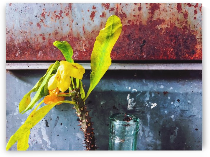 yellow euphorbia milii plant with old lusty metal background by TimmyLA