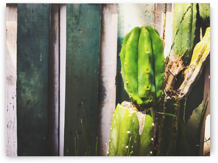 green cactus with green and white wood wall background by TimmyLA