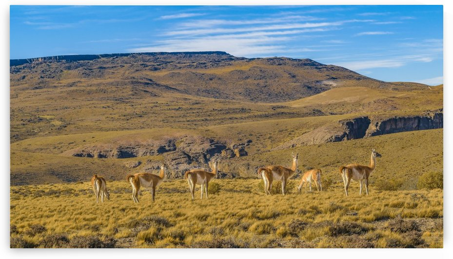 Group of Vicunas at Patagonian Landscape, Argentina by Daniel Ferreia Leites Ciccarino
