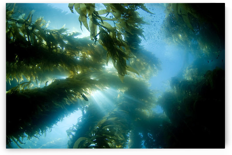 USA, California, Sunlight streaming through forest of Giant Kelp (Macrocystis Pyrifera); Catalina Island by PacificStock