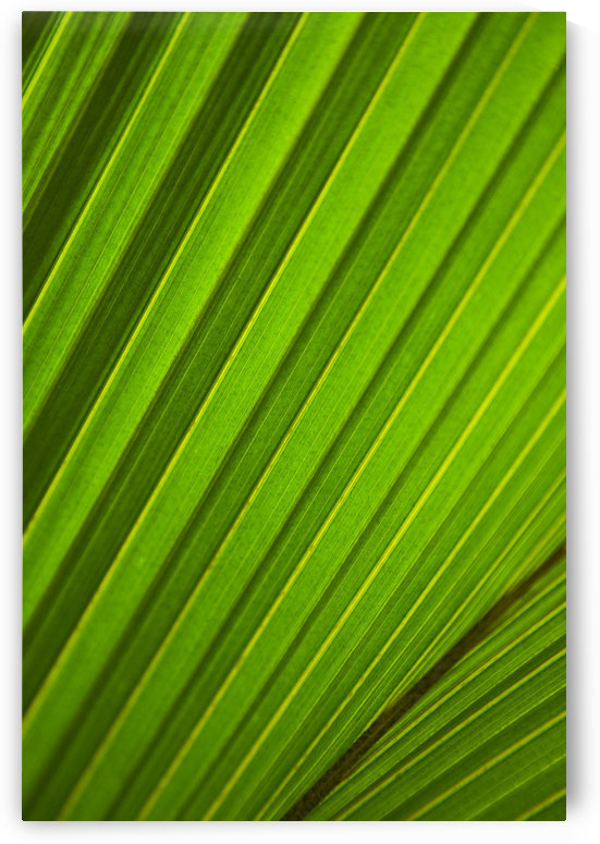 Graphic Detail Of Coconut Palm Leaf. by PacificStock