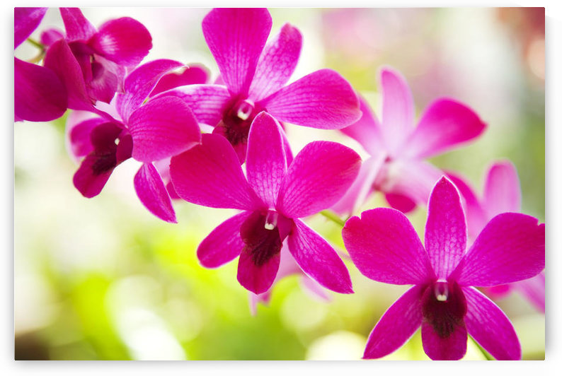 Hawaii, Closeup Of Orchid Lei. by PacificStock