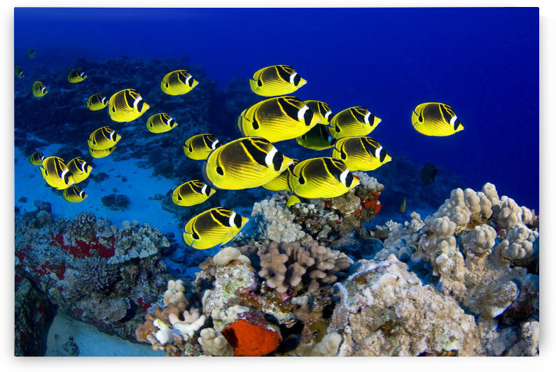 USA, School of Raccoon Butterflyfish (Chaetodon Lunula); Hawaii by PacificStock