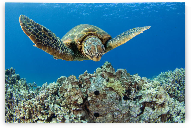 USA, Green Sea Turtle (Chelonia Mydas); Hawaii by PacificStock