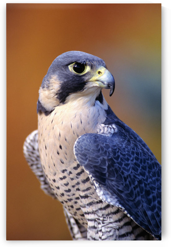 Close up of adult male Peregrine Falcon by PacificStock