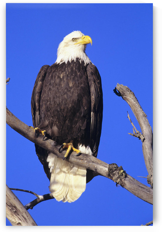 Alaska, Haines Bald Eagle Reserve, Bald Eagle (Haliaeetus Leucocephalus) Perched On A Branch. by PacificStock