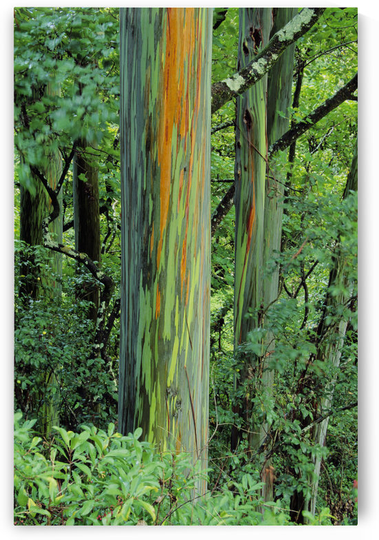 Hawaii, Maui, Hana, Rainbow Eucalyptus Tree Trunk. by PacificStock