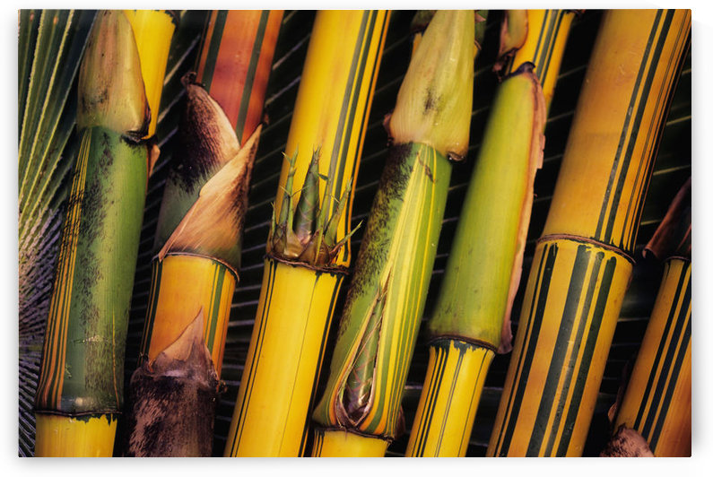 Hawaii, Maui, Closeup Of Bamboo Stalks. by PacificStock